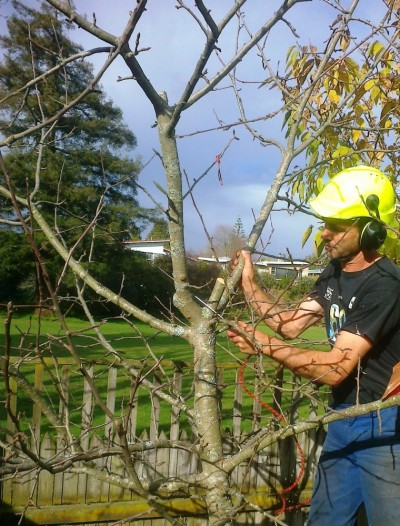 Tim pruning an apple tree for productivity and balance
